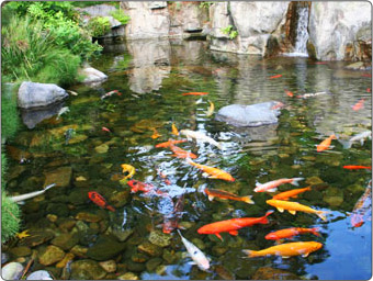 Make a fish pond the easy way badger land renovation for Koi pond store